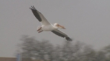White Pelicans return to Northeast Wisconsin