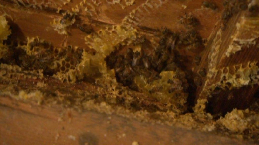 50,000 bees were found nesting in the walls of a two-story home in Kitchener, Ontario.