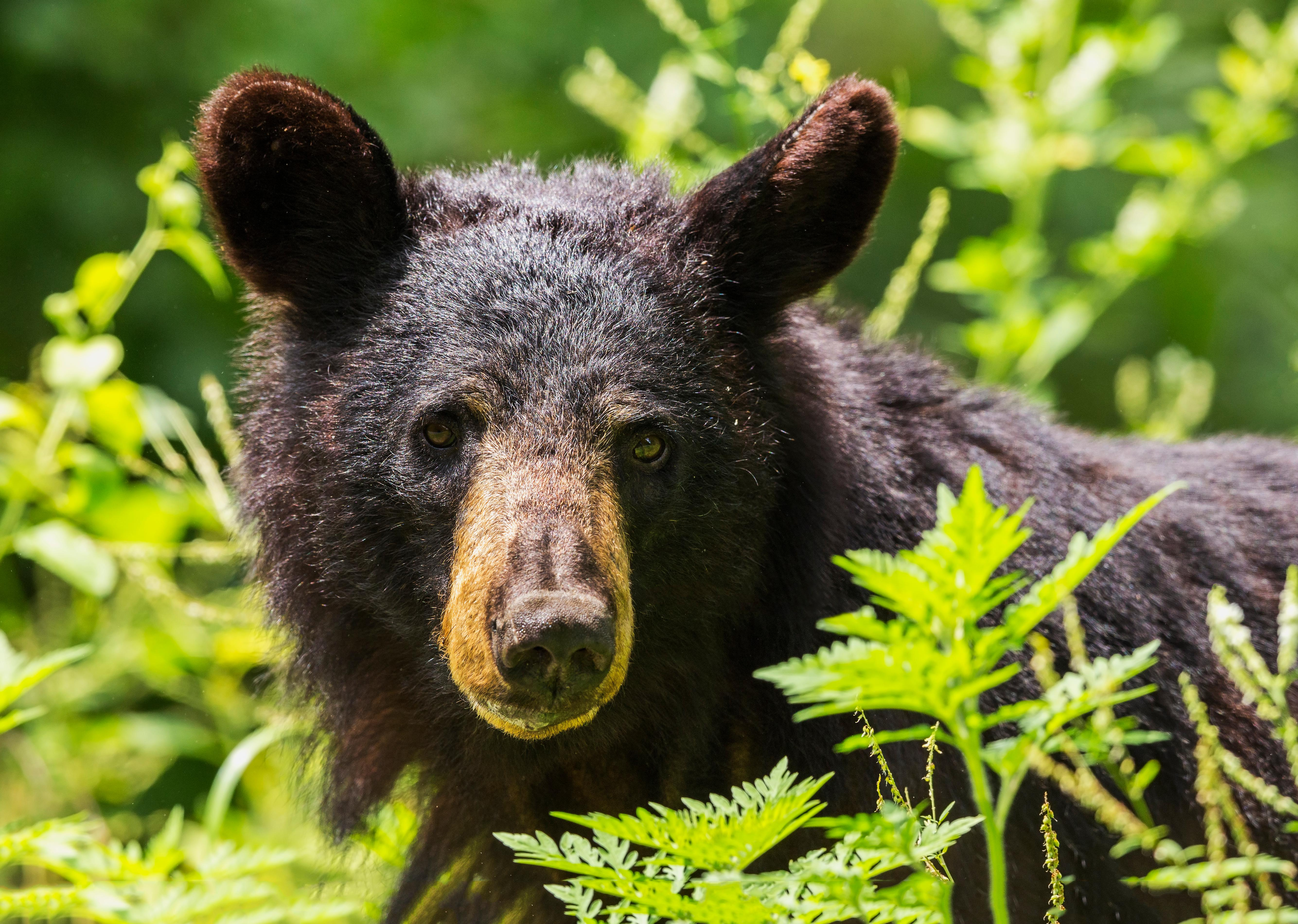 Definitely take a picture if you can, but don't get too close in search of that perfect Instagram shot. Though bears rarely attack, it's better to be safe than a cautionary tale.{ }(File photo)