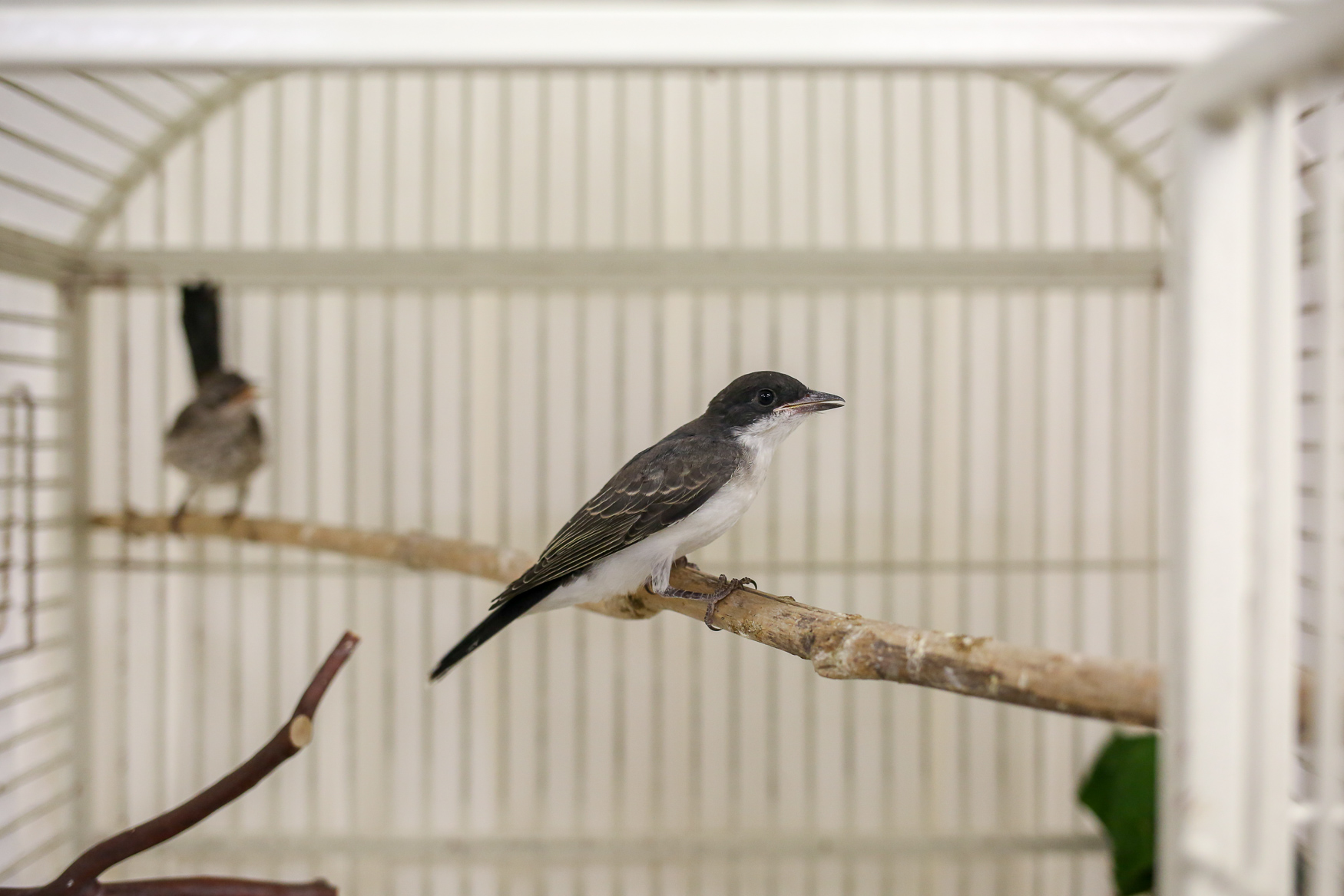 An Eastern Kingbird and a Mockingjay share a cage. (Amanda Andrade-Rhoades/DC Refined)