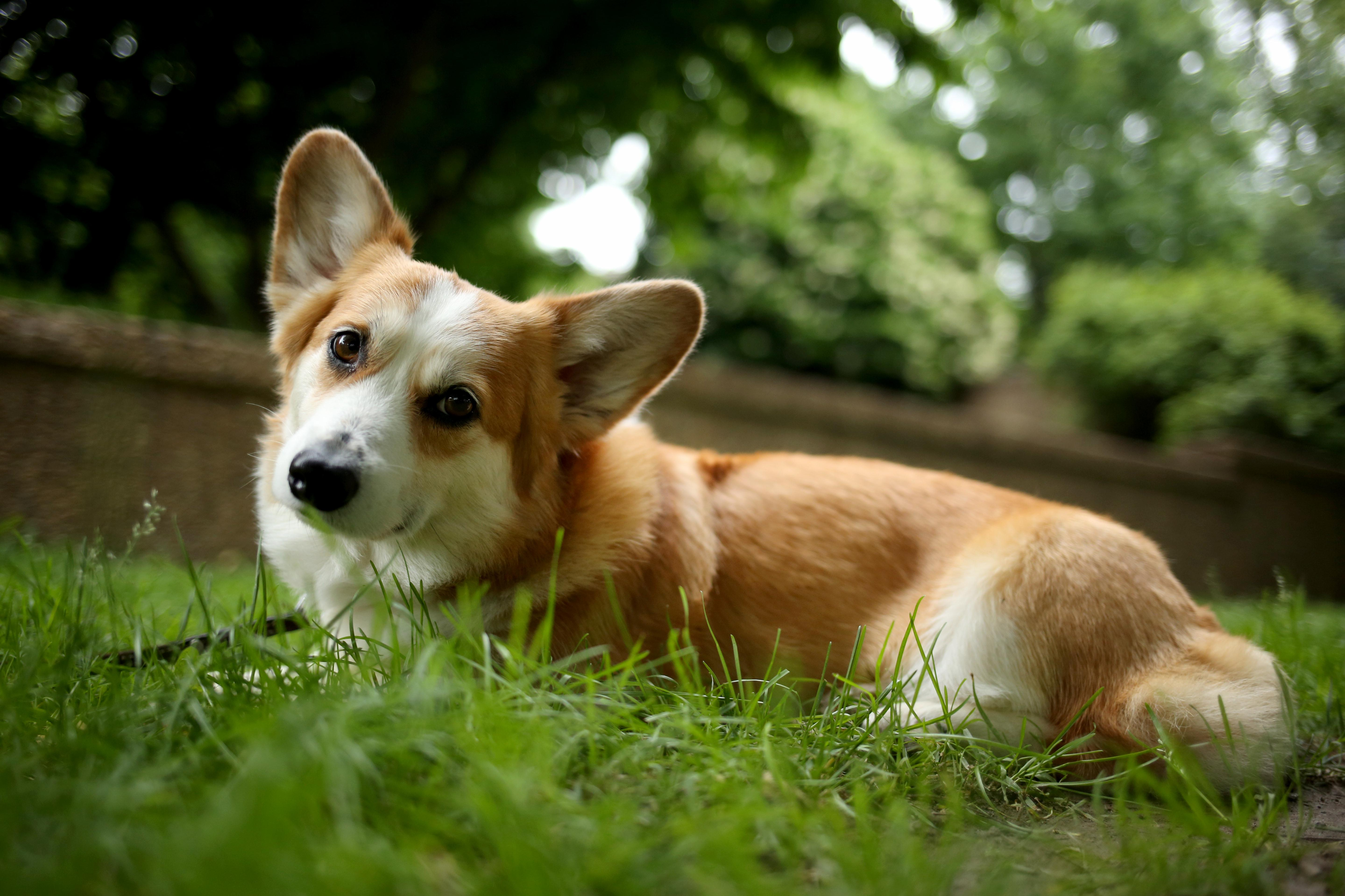 Abbie, a 6-year-old Pembroke Welsh Corgi who loves Meridian Hill Park! Her Instagram is @downtownabbie. (Amanda Andrade-Rhoades/DC Refined)