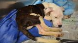 SPCA: 5-month-old puppies found in trash, abandoned and starving
