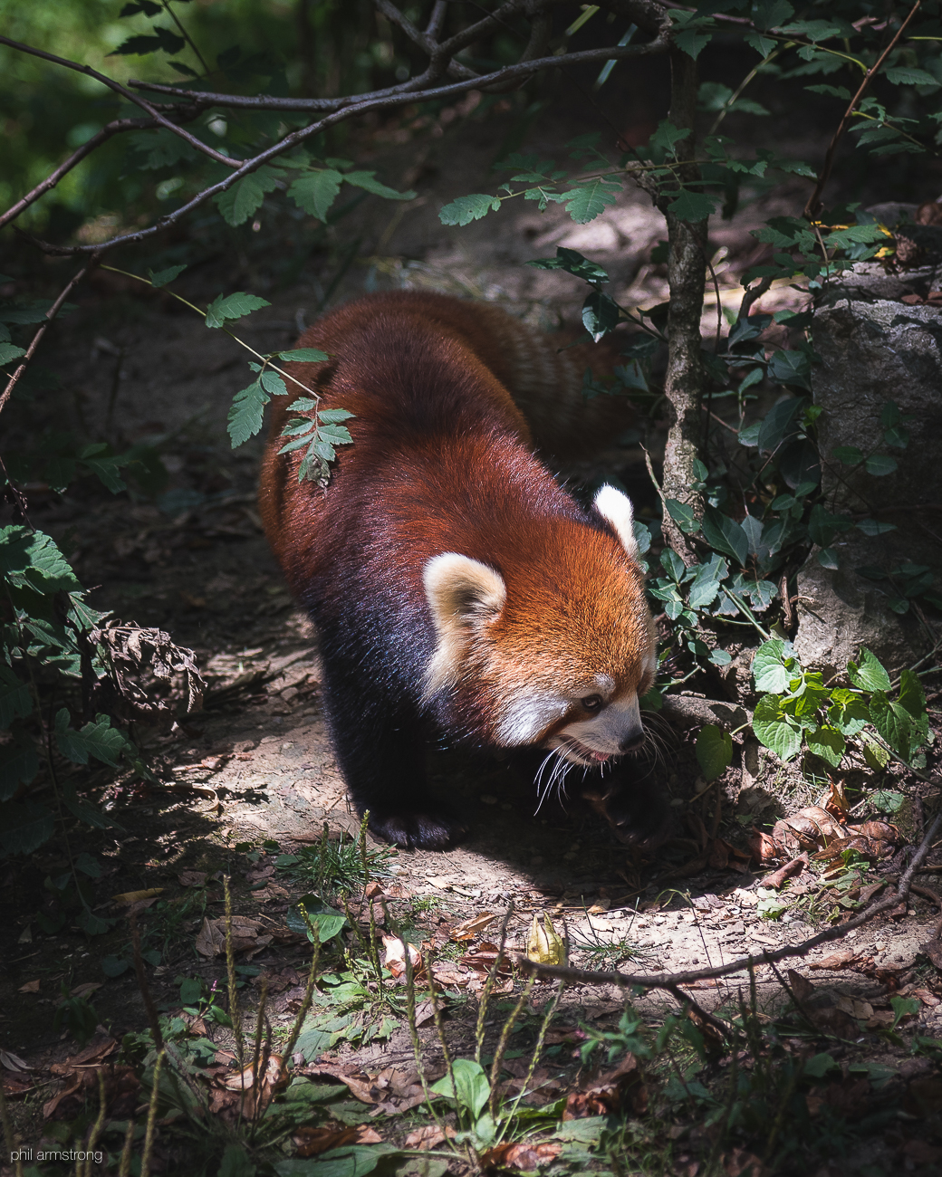 Red panda / Image: Phil Armstrong, Cincinnati Refined // Published: 8.25.17