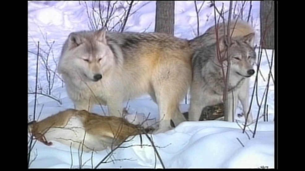 Researcher Says Wolf Population Likely Larger Than Estimates Keci