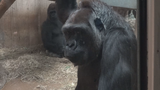 National Zoo on birth watch for 1st baby gorilla in 9 years