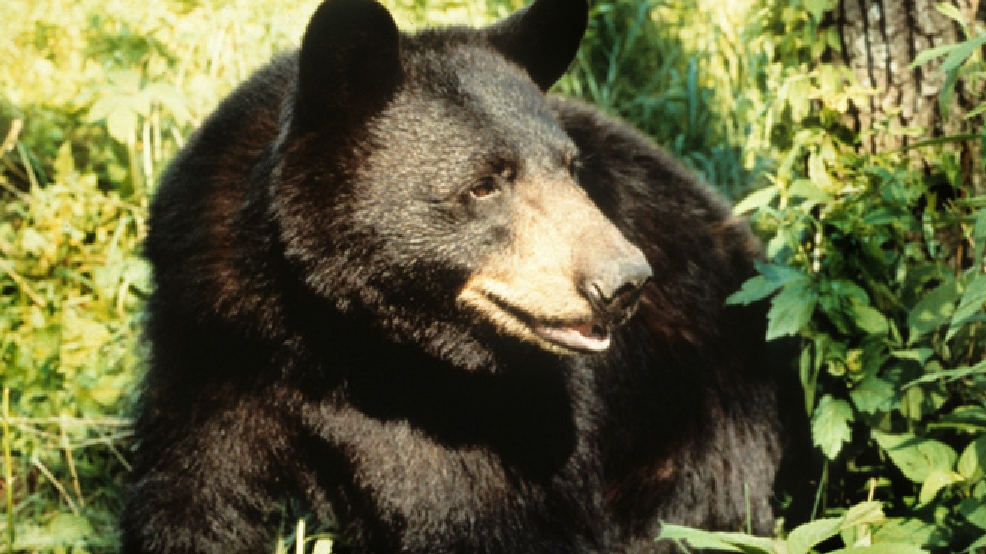 Black bear (Wisconsin DNR/Herbert Lange, file photo)