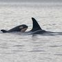 Photos: Researchers get new pics of baby orca frolicking in Strait of Juan de Fuca