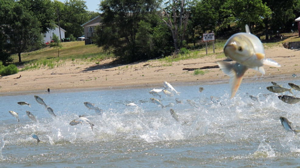 In this June 13, 2012 file photo Asian carp, jolted by an electric current from a research boat, jump from the Illinois River near Havana, Ill., during a study on the fish's population. (AP Photo/John Flesher, File)