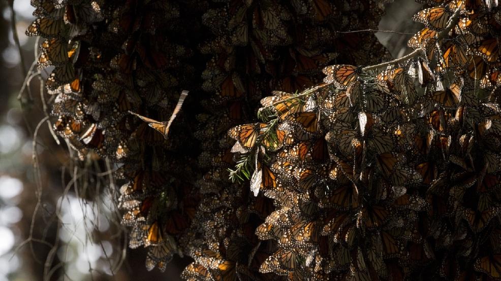 Snow hits Monarch butterfly reserve in Mexico 305820b5-7147-4893-92e4-d1859ab8b0de-large16x9_MexicoMonarchButter_Hend1