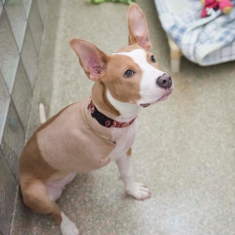 Bronx is very much a puppy, and is learning new things about life every day (and burning off LOTS OF ENERGY in the process), but she's eager to please and has a warm personality. (Humane Rescue Alliance)