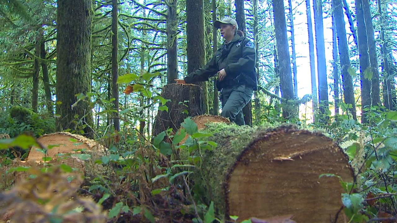 It's an illegal move that stunned park rangers and residents in Snohomish County. A nearly 100-year-old cedar tree on county parkland has been hit by a poacher. (Photo: KOMO News)