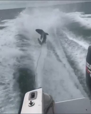 Photo: Still image from video of shark-dragging Source: Hillborough County Sheriff's Office