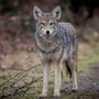 Reports of coyote scuffling with dogs, following hikers in Boise Foothills