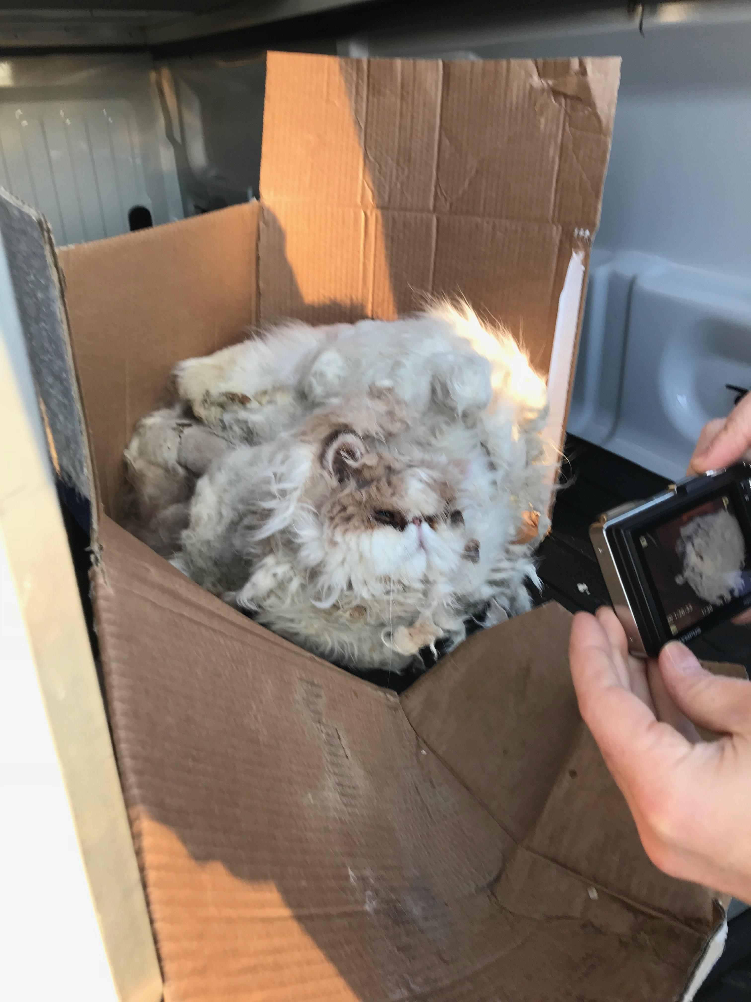 "A ""severely neglected"" cat that authorities said was found frozen to a box near a dumpster in Warwick is on the mend. (RISPCA)"
