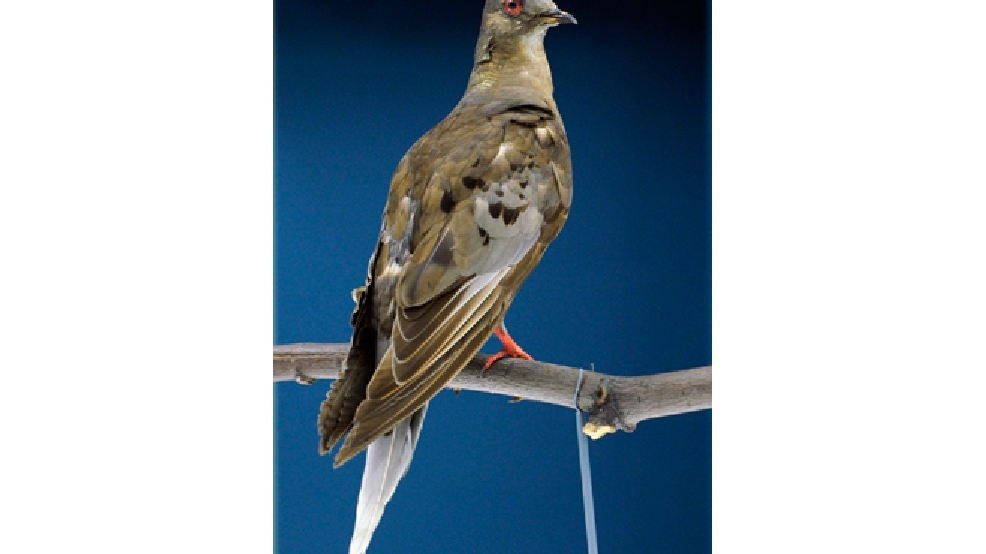 This photo taken June 14, 2014 shows Martha, an extinct passenger pigeon, once the most plentiful bird on the planet, who went extinct in September 1914 when Martha died in public at the Cincinnati zoo, at the Smithsonian's Natural history Museum in Washington. (AP Photo/Susan Walsh)
