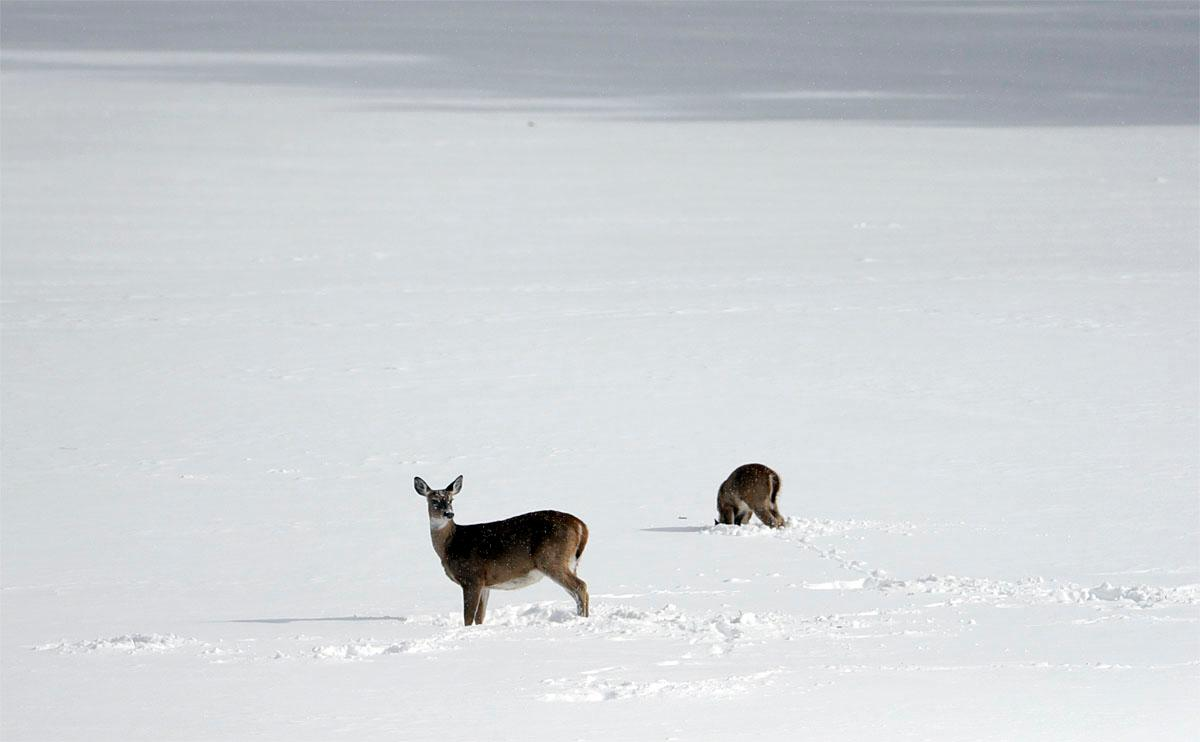 Deer look for food in a snow-covered field on Monday, Nov. 21, 2016, in Stephentown, N.Y. New York's first major snowstorm of the season has dumped nearly two feet of snow on parts of the upstate region. (AP Photo/Mike Groll)