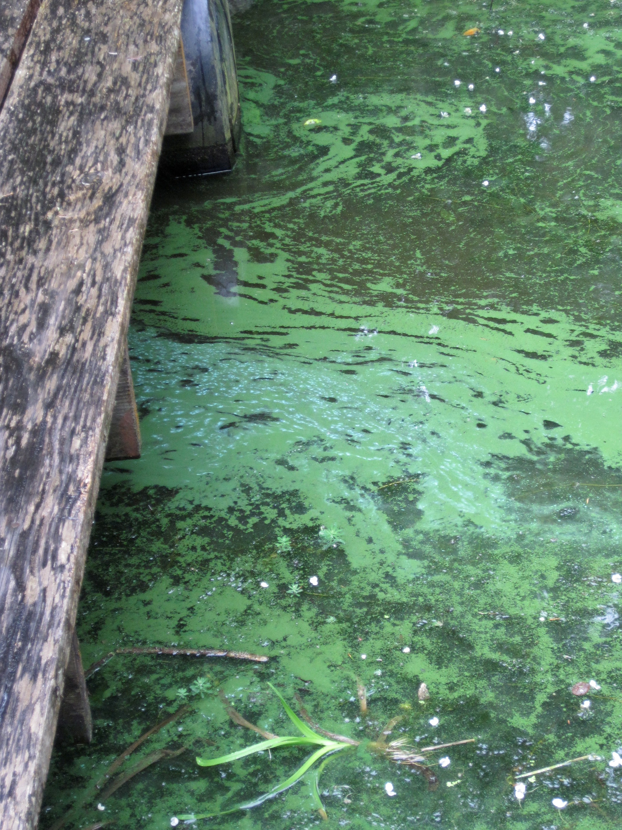 <p>There are no current warning along the coast, but Oregon Health Authority's toxicologist David Farrer said to be vigilant. &quot;When it doubt, stay out. If you see floating scum on the surface bright green, blue-ish, then we recommend not going in, whether or not we post an advisory,&quot; he said. &quot;In general, it's having the right mix of warm temperature, still water and nutrients.&quot; (OHA photo)</p>