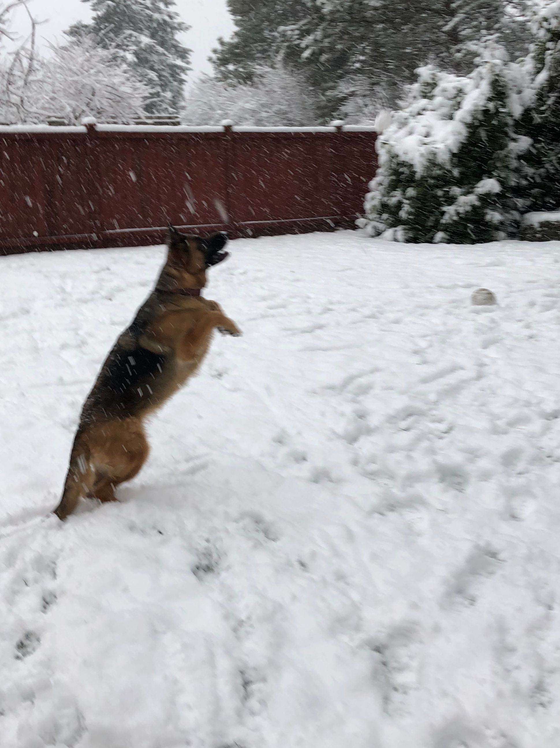Ember chasing snowflakes in Yelm (Candace McDowell / Chime In)
