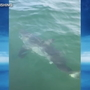 Caught on Camera: Great white shark attacks bass attached to fishing line