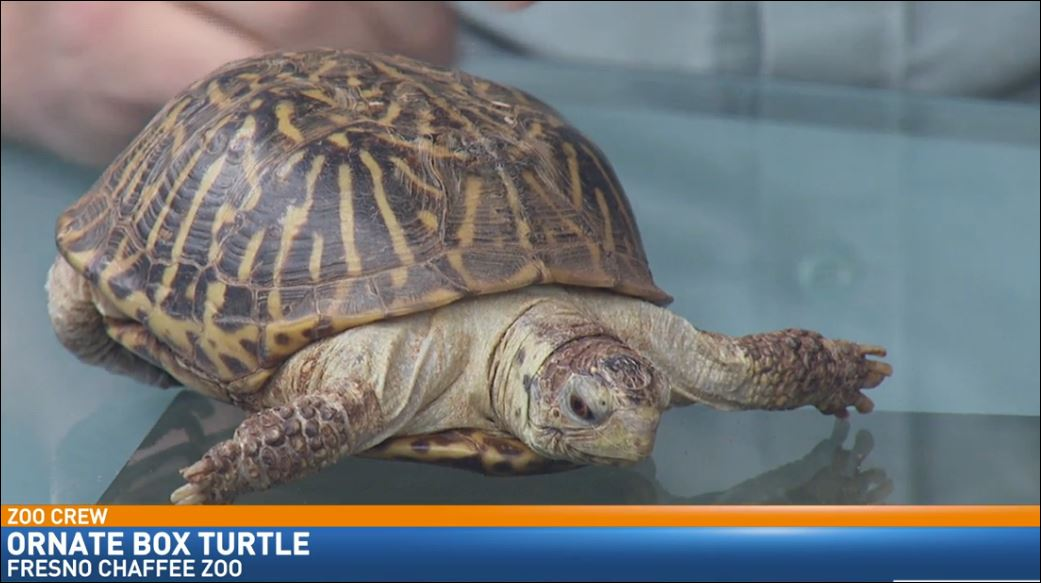 Zookeeper Ryan Gruber visited Great Day with an Ornate Box Turtle