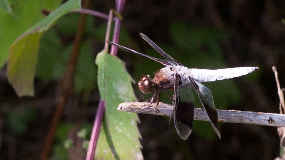 Common whitetail dragonfly (Wisconsin DNR photo)