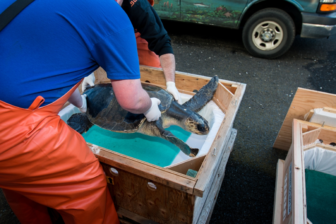 Thunder the olive ridley turtle being loaded in transport crate - Credit Oregon Coast Aquarium