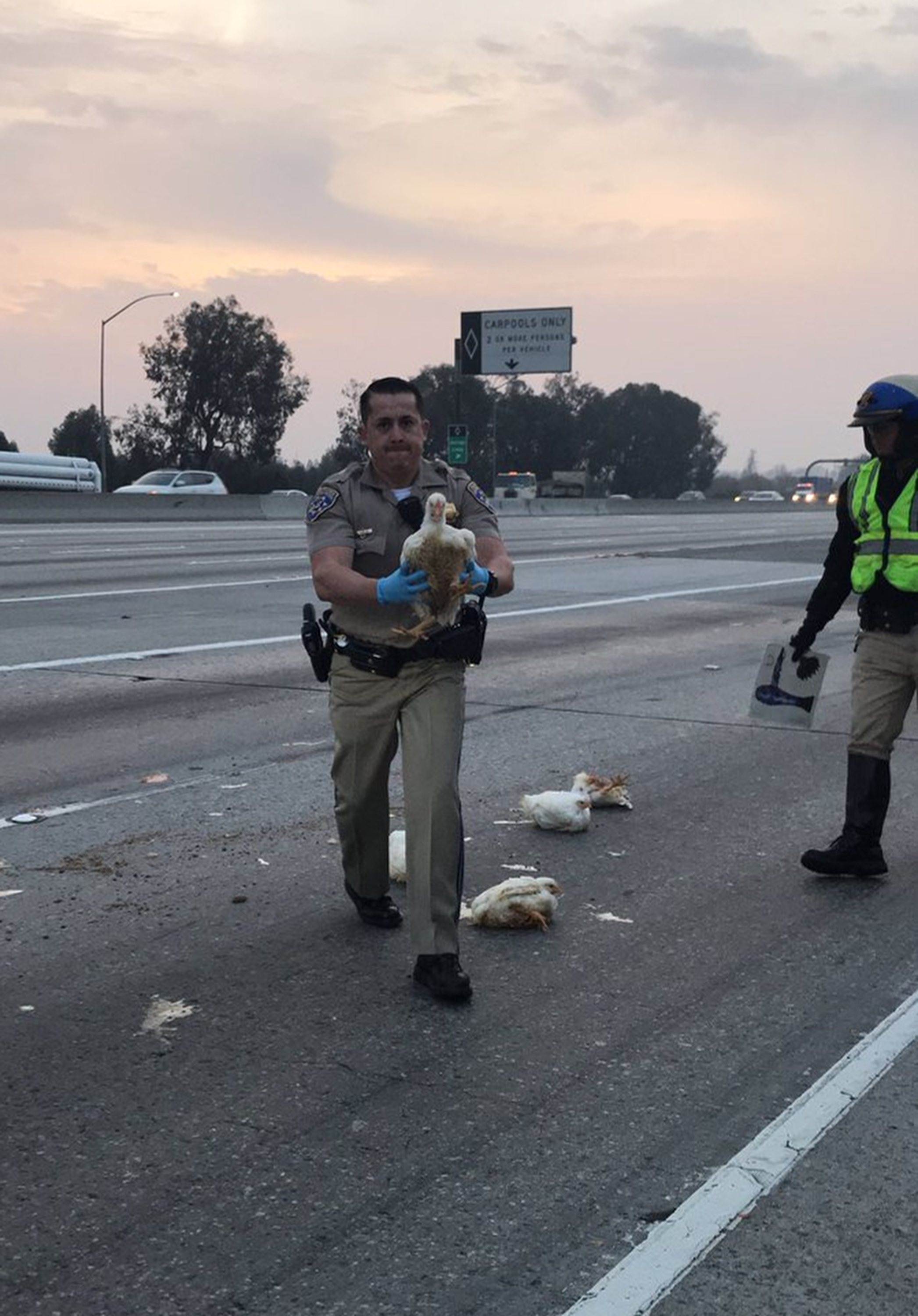 In this photo released by the California Highway Patrol, CHP officer DaSilva rescues nearly 20 chickens that ran through highway lanes in Norwalk, Calif., Tuesday, Jan. 2, 2018. The CHP says the birds blocked a portion of Interstate 605 Tuesday morning after their cage fell from the back of a truck. (CHP Officer C.Lillie/California Highway Patrol via AP)