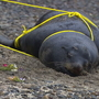 Feds investigate more sea lion deaths after two shot near West Seattle