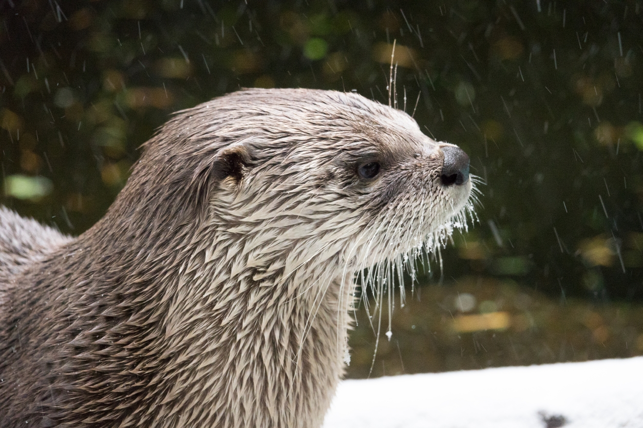 A river otter in the snow at the Oregon Zoo. © Oregon Zoo / photo by Michael Durham.