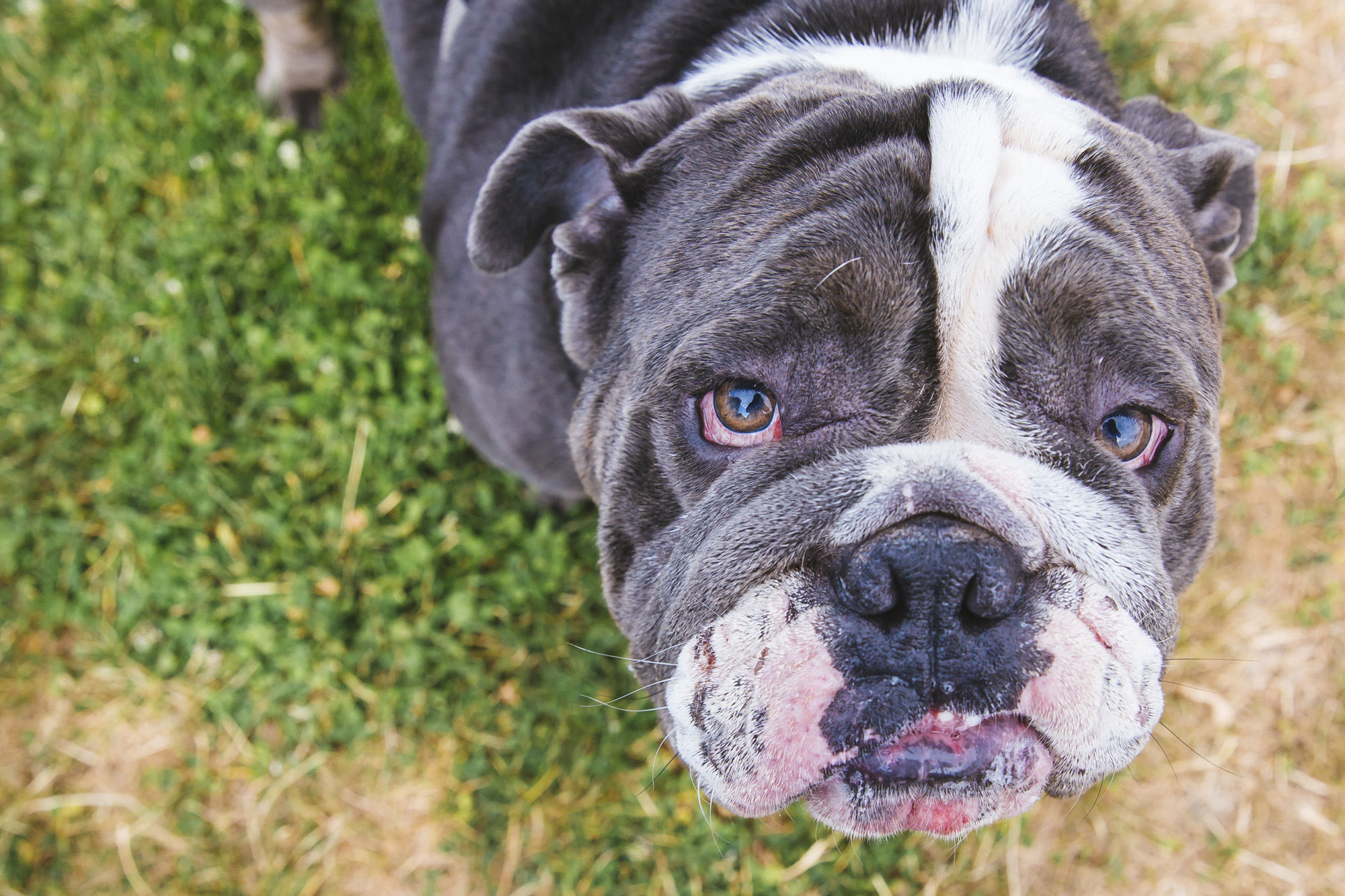 Look at this floofy NUGGET! Meet Wilbur, a nearly two year old English Bulldog. Wilbur lives in Bellevue with his other bully brother and sister, Maverick and Pearl who are all spoiled rotten. This bubba like going on walks, chewing on Nyla bones and playing with a water hose. He enjoys dog parks and will even go for a quick swim every now and then. He loves treats and vanilla ice cream. He dislikes vacuums, baths and the blow dryer. He attacks the dryer which makes it impossible to use.{ }The Seattle RUFFined Spotlight is a weekly profile of local pets living and loving life in the PNW. If you or someone you know has a pet you'd like featured, email us at hello@seattlerefined.com or tag #SeattleRUFFined and your furbaby could be the next spotlighted! (Image: Sunita Martini / Seattle Refined).