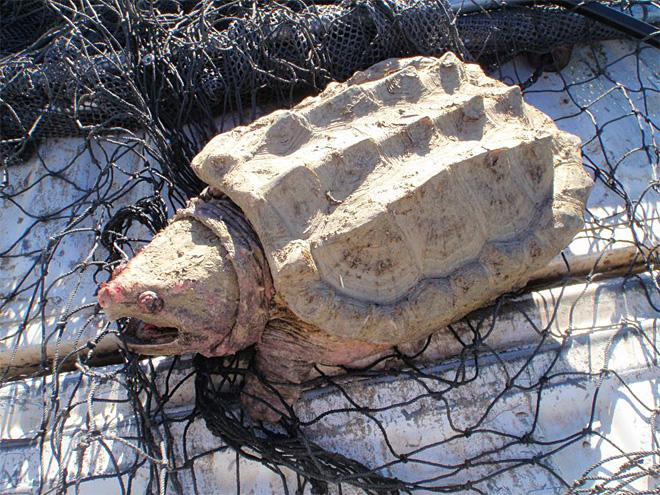 Snapping Turtle (File photo: KUTV)