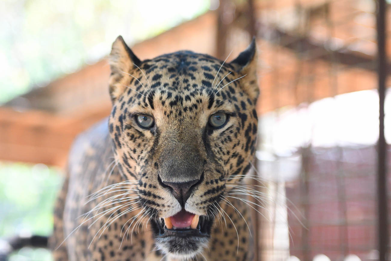 George is a male leopard from Long Island, NY. He was discovered with another leopard, Rodney, during a domestic dispute. Since it's illegal to own exotic cats in New York, they were confiscated and brought to the EFRC. / Image: Stephen D. McCloud, via the Exotic Feline Rescue Center // Published: 12.5.18