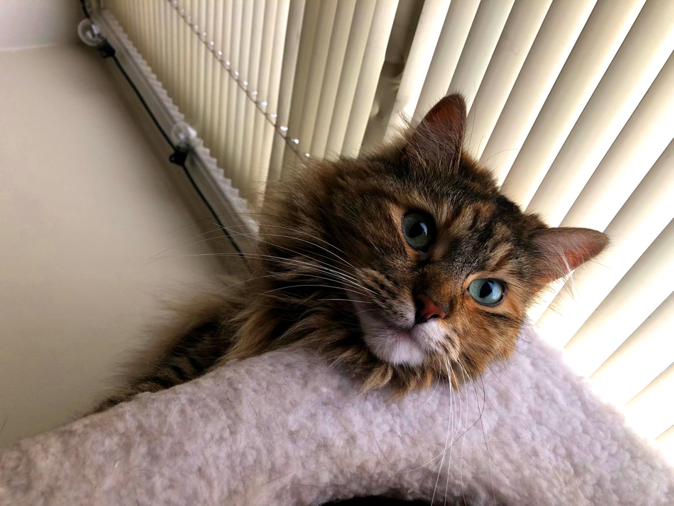 "CuCu (Koo Koo) is a Maine Coon mix, and ""absolute maniac"" according to her parents Ty & Amber! She loves jumping off the walls while she hunts her toys, it's like having a small parkour athlete in the house! She loves to play, and delivers ""dead"" stuffed animals to her parents as her daily ""kill"". Her favorite place to hang out is the bathtub, where she begs for the faucet to be turned on! If she's not hunting a stuffed animal, jumping off walls or in the bathtub, she can be found in one of windows, catching some sun. You can find CuCu on Instagram @twink_and_cucu. The<a  href=""http://seattlerefined.com/ruffined"" target=""_blank"" title=""http://seattlerefined.com/ruffined"">{&nbsp;}Seattle RUFFined Spotlight</a>{&nbsp;}is a weekly profile of local pets living and loving life in the PNW. If you or someone you know has a pet you'd like featured, email us at{&nbsp;}<a  href=""mailto:hello@seattlerefined.com"" target=""_blank"" title=""mailto:hello@seattlerefined.com"">hello@seattlerefined.com</a>{&nbsp;}and your furbaby could be the next spotlighted! (Image: Ty Huffer / Seattle Refined)"
