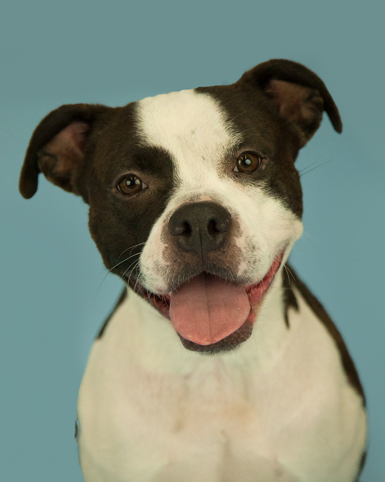 Hi friends! My name is Maggie – I'm a delightfully exuberant, two year old Boston Terrier Boxer mix with the goofiest smile. I have a zest for life that would make me your perfect hiking, running, and adventure buddy! Some of my favorite things to do are romp in yards, try my paw at agility, and training as I'm eager to please! My ideal human siblings should be in their teenage years due to my activity level and need for daily exercise. I hope to make you smile daily with my silly antics!{&amp;nbsp;}<p></p>