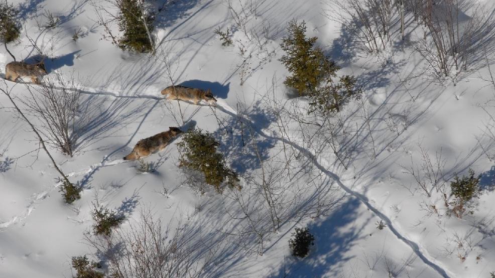 Wolf aerial - Courtesy DNR.jpg