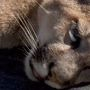 Young mountain lion is back in the wild
