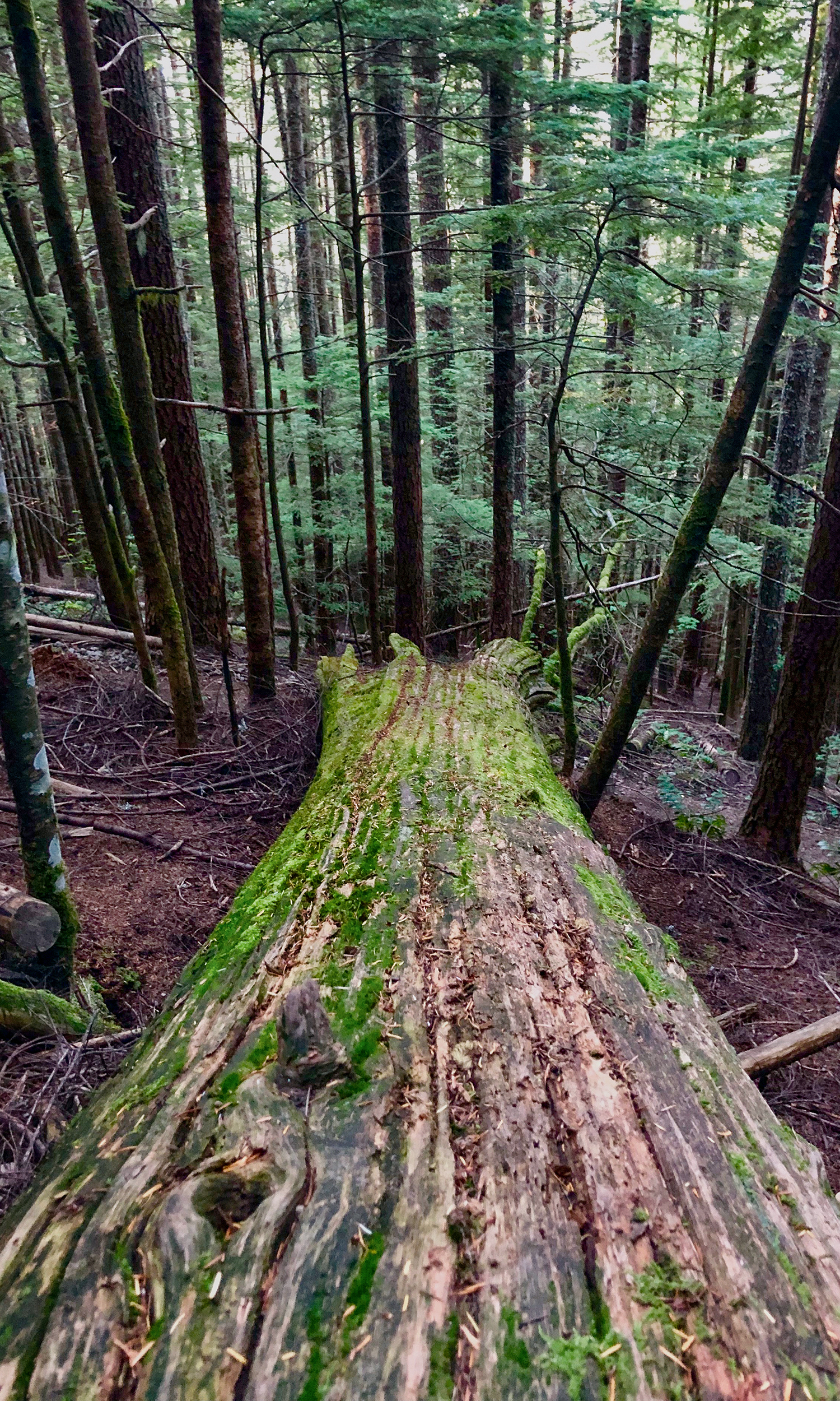 <p>The heavily trafficked trail is mostly quiet due to the thick forest landscape. Dramatic, downed trees with bright green moss accent the trail. (Image:{&nbsp;}Rachael A. Jones / Seattle Refined){&nbsp;}</p>