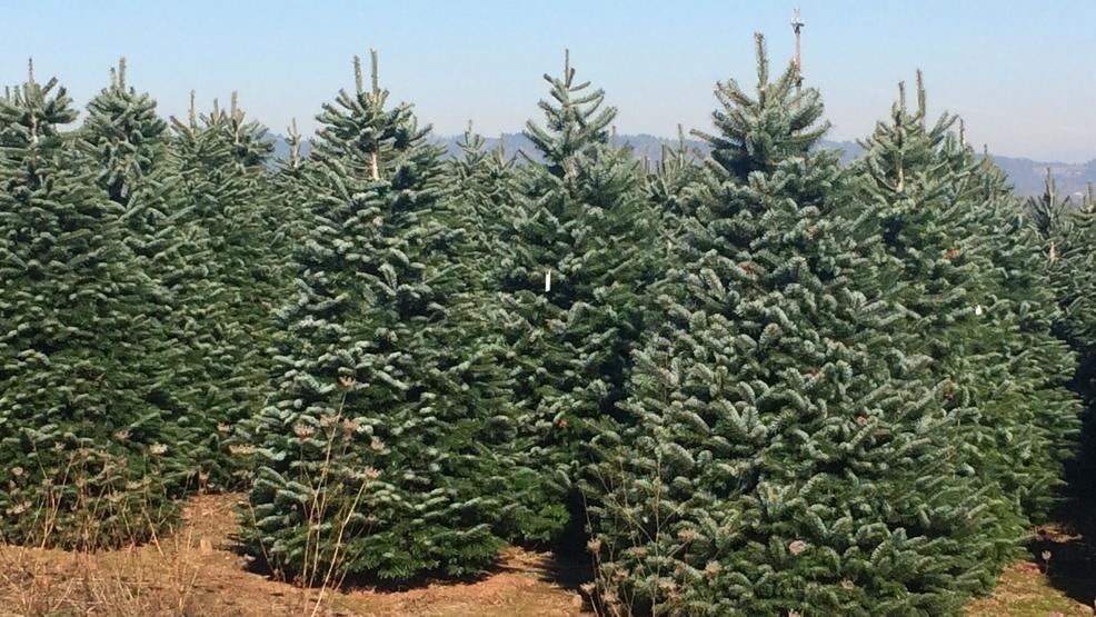 oregon christmas tree shortage number of trees go down prices go up - When To Take Down Christmas Tree