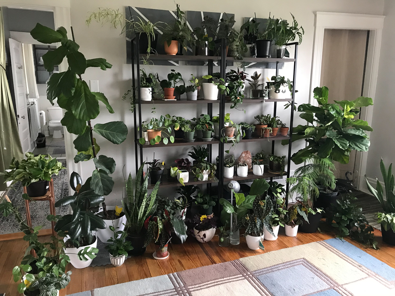 "Rebecca Bishop (IG: @ArtSky.Designs & @ReebsBishop) from Norwood / ""My grandmother had a green thumb and inspired a love of plants early on (both indoors and outdoors!). My room with the most plants is somewhat COVID-inspired! My workplace was quick to switch to working from home and I wanted to make my new workspace as uplifting as possible. I ended up taking over a bedroom in our home on our second floor that has great east-facing windows. To better enjoy the space and still be able to move around it, I thought these shelves from Target would do a great job helping keep plants off the floor and hide my printer at the same time! My printer doesn't 'give me joy,' but the plants do. I also had most of these plants before the pandemic but have picked up a few since (like a variegated lemon tree, some pink arrowhead vine, and a hoya obovata). These shelves act as my zoom call background for all work calls and happy hours! I swear, seeing this wall and hearing me talk about plants has inspired at least three friends, two coworkers, and my mom to start their own indoor plant collections. I firmly believe caring for plants is a fantastic form of self care. Caring for my collection brings me so much joy and forces me to slow down and focus. When it comes to favorites, I love anything 'string' (hearts, pearls, tears, etc), hoyas, and begonias. My 'pride and joys' are a massive Hoya Austrails, a small variegated string of pearls, and my small collection of Begonia Maculatas."" / Image courtesy of Rebecca Bishop // Published: 6.13.20"