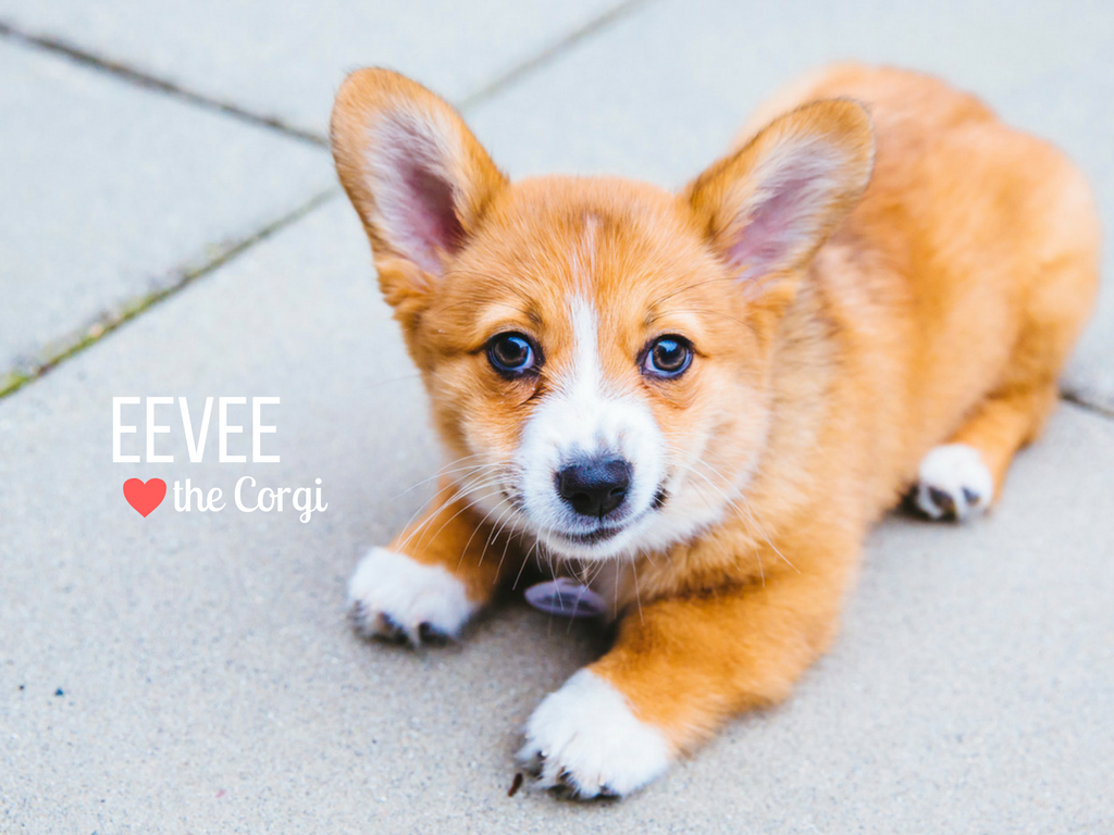 How cute is Eevee! Eevee is short for Evangeline Thunderstone Magnolia which is like the best name ever, right? Eevee is a four month old Pembroke Welsh Corgi who is living the dream in the Capitol Hill neighborhood. Eevee likes chewing on bully stick, chicken and cheese, getting the zoomies and making her human chase her around the house, meeting new dogs and people. She dislikes going down stairs, hearing loud noises and getting nail trims. You can follow Eevee's journey through life on her instagram account, @eevee.corgi. The Seattle RUFFined Spotlight is a weekly profile of local pets living and loving life in the PNW. If you or someone you know has a pet you'd like featured, email us at hello@seattlerefined.com or tag #SeattleRUFFined and your furbaby could be the next spotlighted! (Image: Sunita Martini / Seattle Refined).