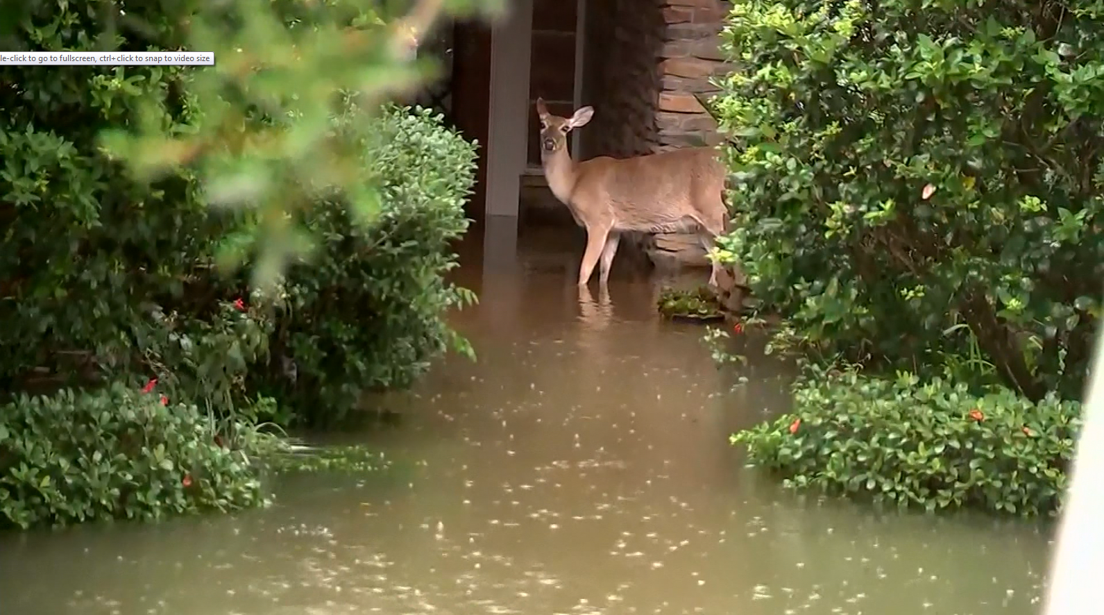 Deer spotted in flood waters (KTRK / CNN)