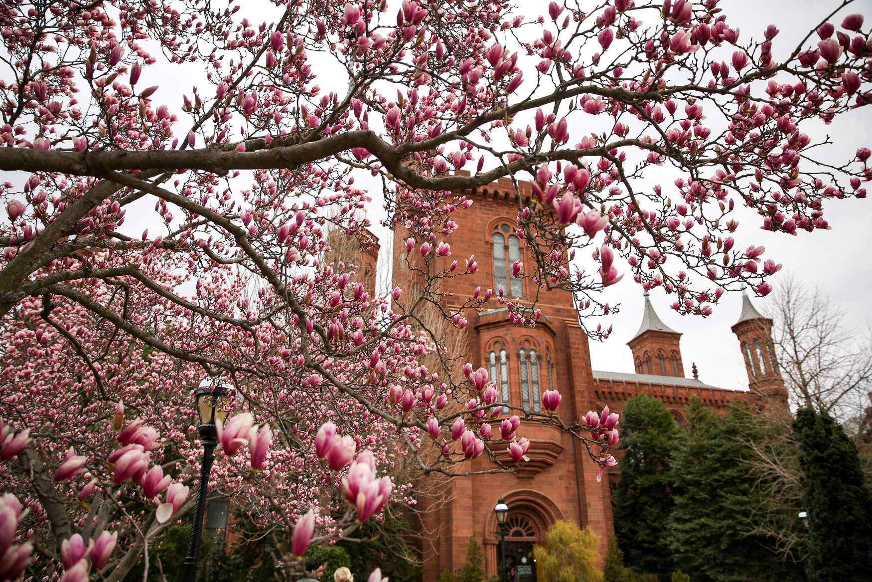 The National Mall definitely has tourists around, but the area around Smithsonian Castle and the Hirshhorn's Sculpture Garden has plenty of saucer Magnolias that are either in bloom or going to bloom soon. (Amanda Andrade-Rhoades/DC Refined)