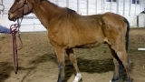 Severely emaciated horse rescued from The Dalles, pasture mate euthanized