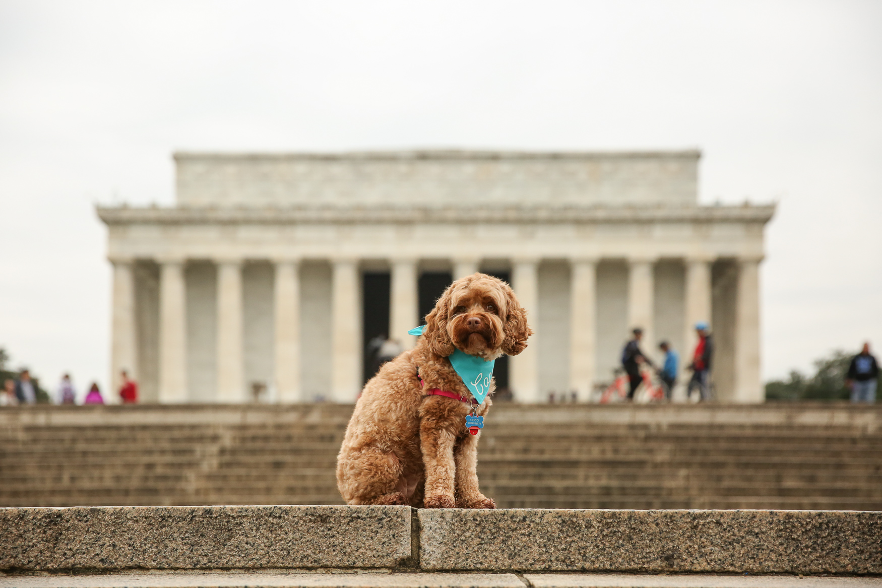 "Meet Coco, a 3.5-year-old Cockapoo. Coco originally hails from Pennsylvania and has lived in Richmond and D.C. since then. She's a pretty lazy puppy, but she loves playing with her best friend Lincoln (look for Lincoln on DCR next week). She also loves tennis balls, small squeaky toys, strawberries and rice.  She's not a fan of broccoli, and she hates the vacuum.{ }Her best trick is ""nose touch"" -- if you put your hand flat out, she will run around trying to touch your hand with her nose until you give her a treat. Though she doesn't see it that often, Coco loves snow and had a great time during the blizzard of 2016. If you're interested in having your pup featured, drop us a line at aandrade@dcrefined.com (Amanda Andrade-Rhoades/DC Refined)"
