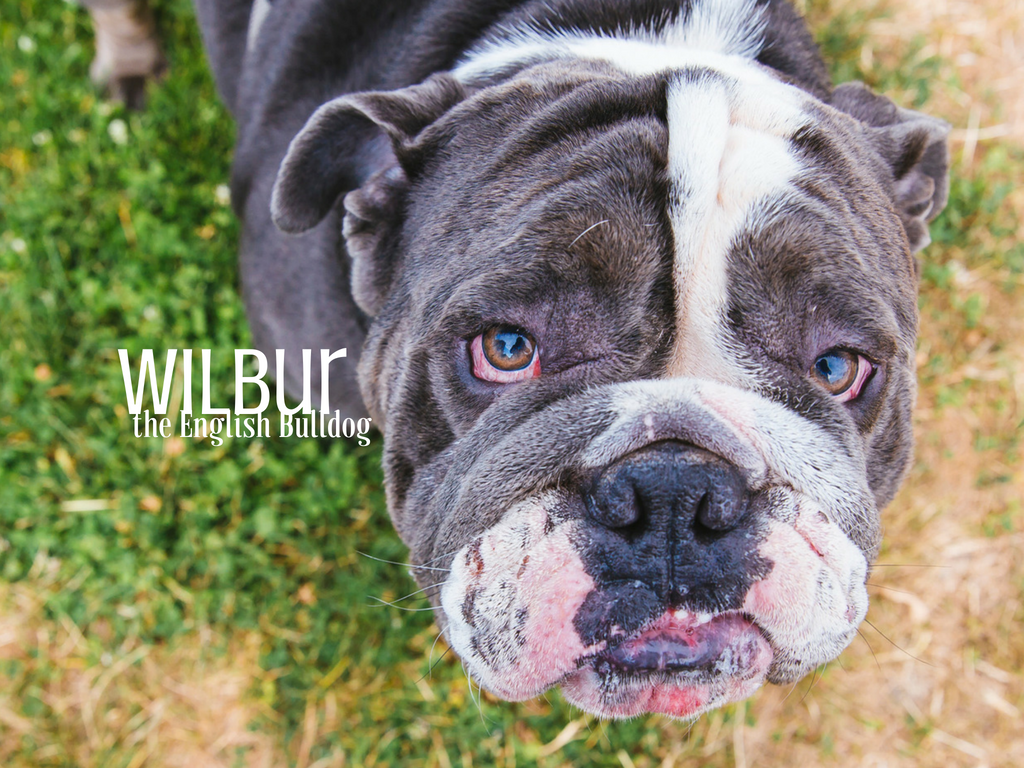 Look at this floofy NUGGET! Meet Wilbur, a nearly two year old English Bulldog. Wilbur lives in Bellevue with his other bully brother and sister, Maverick and Pearl who are all spoiled rotten. This bubba like going on walks, chewing on Nyla bones and playing with a water hose. He enjoys dog parks and will even go for a quick swim every now and then. He loves treats and vanilla ice cream. He dislikes vacuums, baths and the blow dryer. He attacks the dryer which makes it impossible to use. The Seattle RUFFined Spotlight is a weekly profile of local pets living and loving life in the PNW. If you or someone you know has a pet you'd like featured, email us at hello@seattlerefined.com or tag #SeattleRUFFined and your furbaby could be the next spotlighted! (Image: Sunita Martini / Seattle Refined).