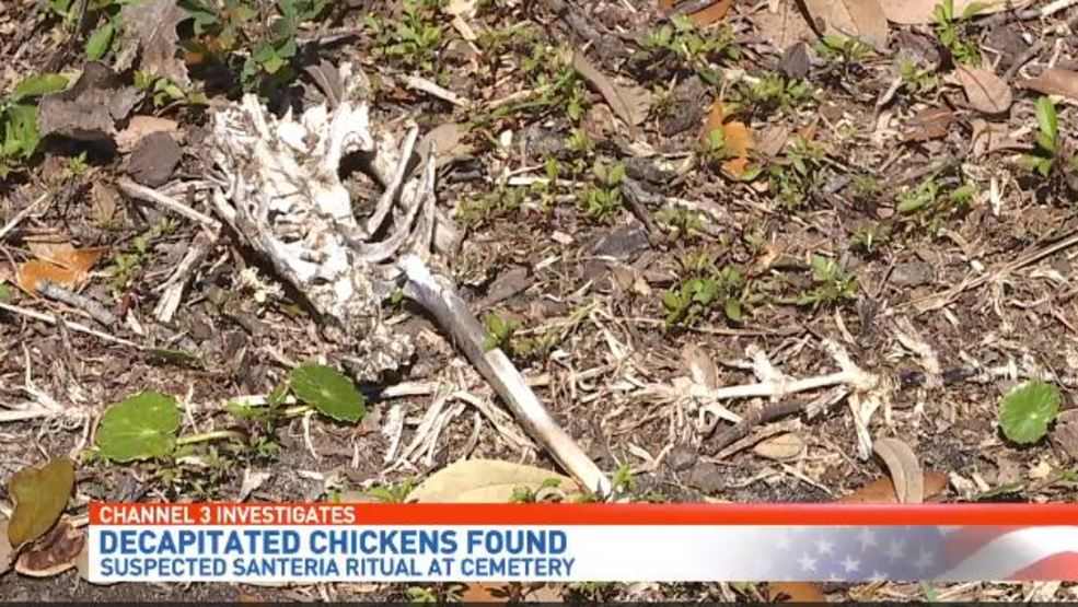 Decapitated chickens found in suspected Santeria ritual | WEAR