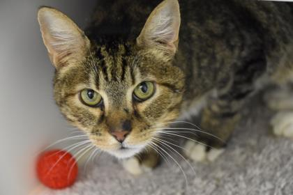 My name is Rosten! I'm an eight-year-old tabby ready for a peaceful home to call my own. I come with the impressive resume of having worked at a cat café! While I had fun, I'm happy to be away from the hustle and bustle of crowds and look forward to finding a savvy family to cuddle up with. I hope to meet you soon!<p></p>