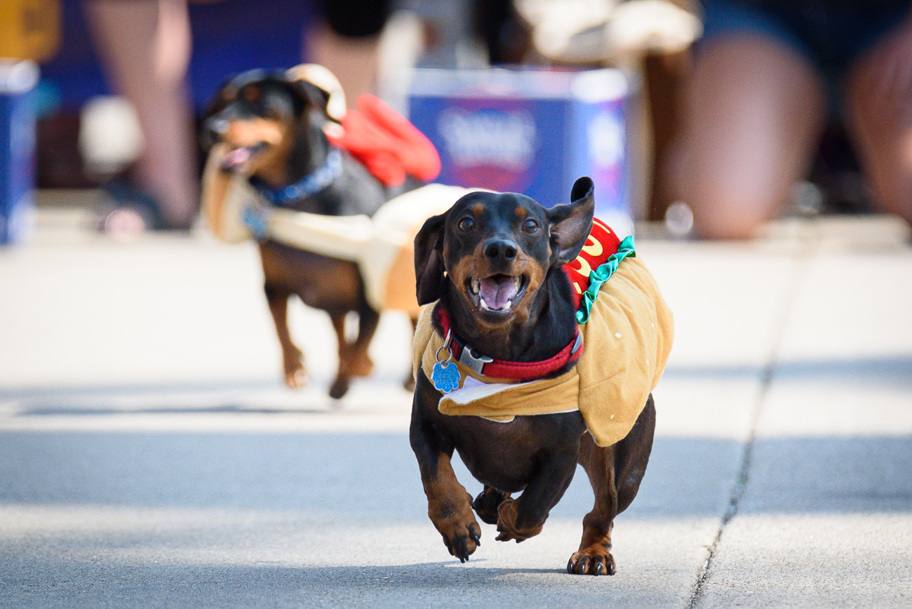 The Running of the Wieners, a Cincinnati tradition that precedes Oktoberfest every year, was held on Thursday, September 19 at the Banks on Freedom Way. Dachshunds ran nine different heats before a final race was held to determine the winning weenie. 1st place was ultimately earned by Maple, a fluffy-eared red doxie. Owners Joey, Jake, and Lorene Sander were there to celebrate with her. / Image: Phil Armstrong, Cincinnati Refined // Published: 9.19.19