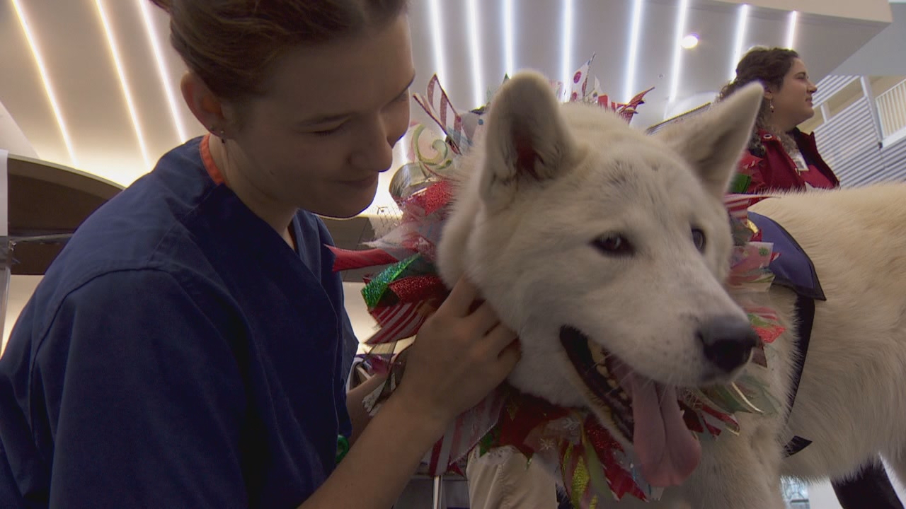 Fourth year dental student Sophie Diepenheim (deep-en-hime)-- with Burk's and Zipporah's help-- trained her dog to be a therapy dog. She was smitten with the white akita. (KATU)