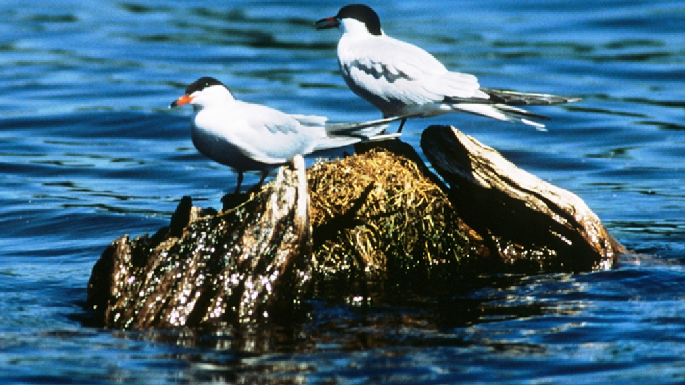 Common terns (Photo courtesy Wisconsin DNR)